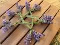 Lavendel_Stern09