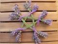 Lavendel_Stern12